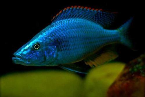 Ciclidos africanos. dimidiochromis compressiceps. excelentes