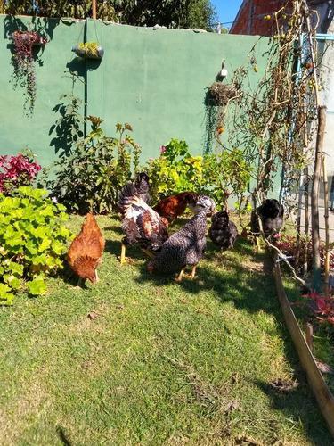 Pollos y gallinas criollas de campo