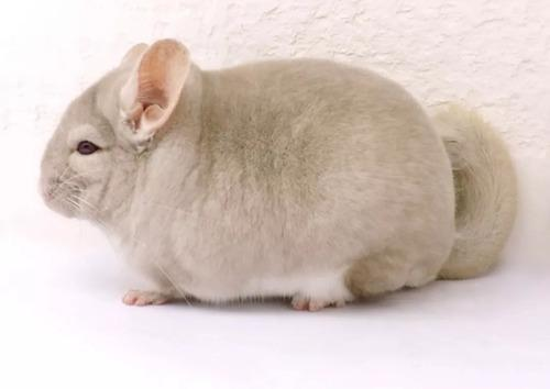 Chinchillas macho y hembras bebes