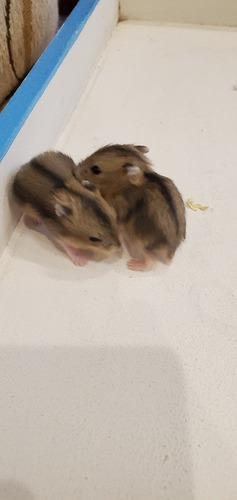 Hamster rusos. la plata, villa elvira