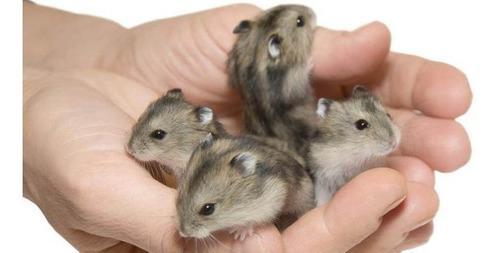 Hamsters rusos (topitos) colores variados!.. hermosos!! **