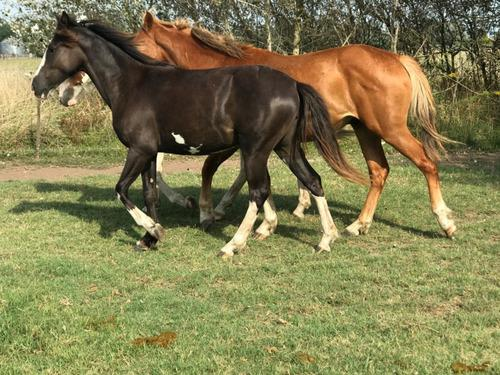 Caballos potros vendo mínimo 3 caballos san miguel del