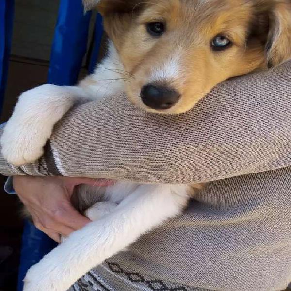 Cachorra collie
