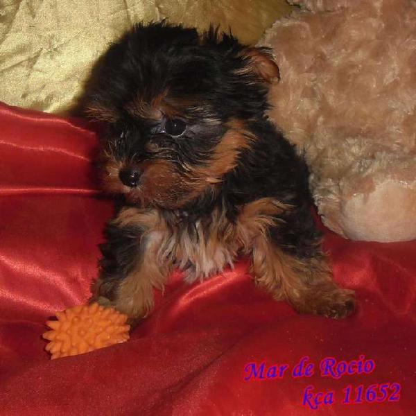 Hermoso yorkshire terrier