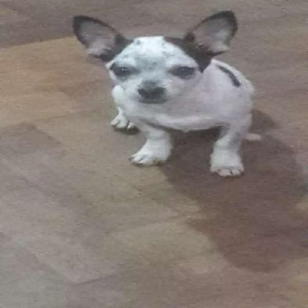 Chihuahua machito blanco 4 meses