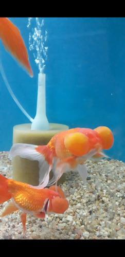 Peces burbuja agua fria grandes 12 15 cm aprox