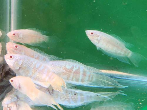 Peces tropicales macropodus opercularis albino x 5 unidades