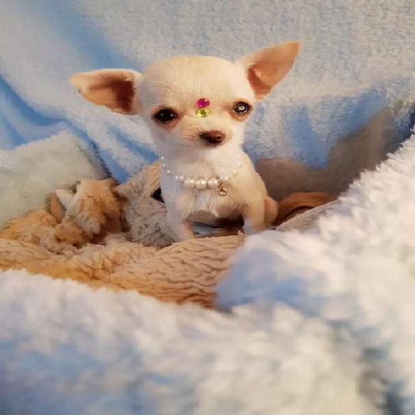 Chihuahua hembra súper mini tarjeta envios