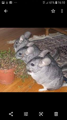 Chinchillas mascota o reproduccion