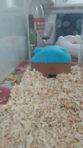 Hamstera + 2 hamster sirios o rusos+alimento+comida+bebedero