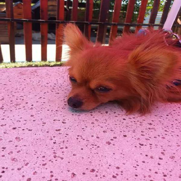 Chihuahua macho para servicio