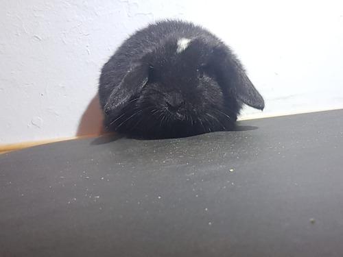 Conejos holland lop + caja jaula transportadora de mascotas