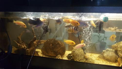 Peces cíclidos africanos del lago malawi, peces adultos,