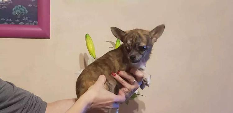 Chihuahua macho mini atigrado. 6 meses nufias