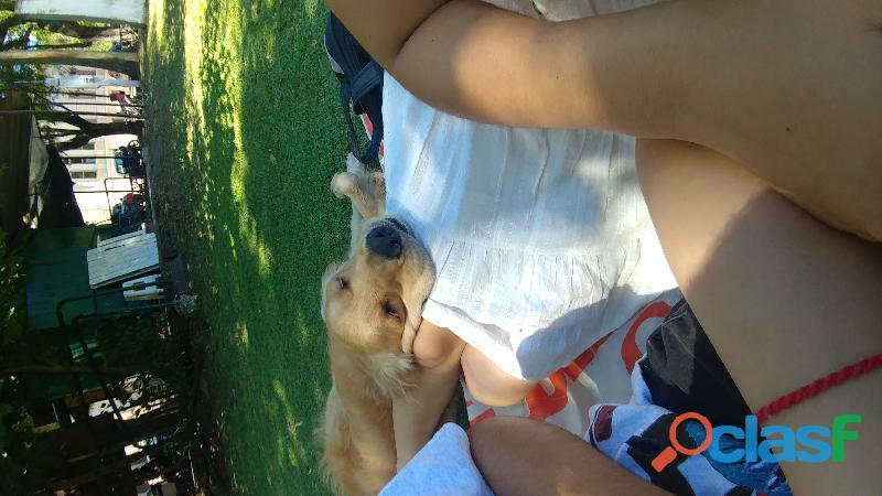 Adopto cachorro golden retriever