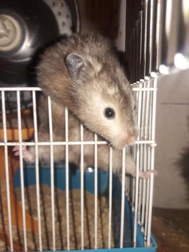 Topo ruso hamster erizos macho hábitat zona liniers