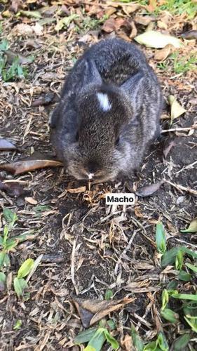 Conejos criollos cruza con enanos bebes