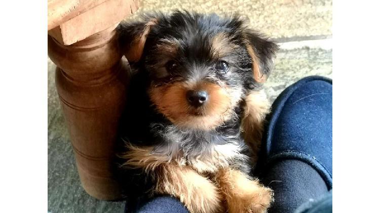 Cachorros yorkie en adopción