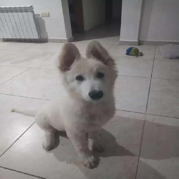 Cachorra pastor blanco suizo