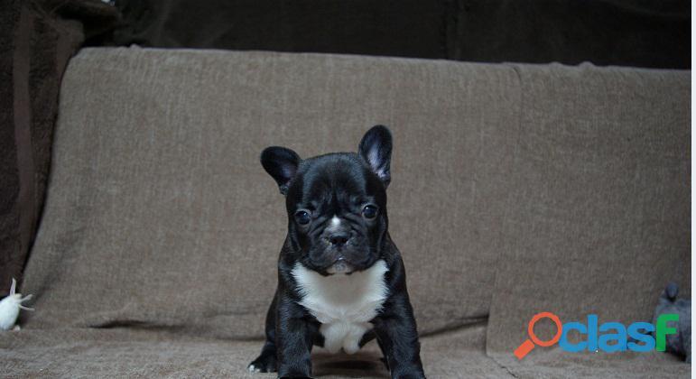 Hermosos cachorros de bulldog francés listos para un nuevo hogar