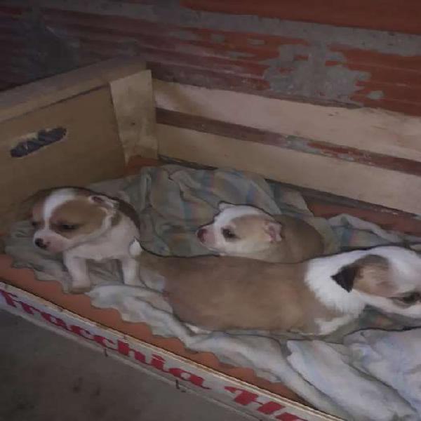Cachorrito de chihuahuas disponibles
