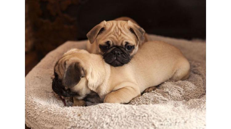 Cachorros pug especiales