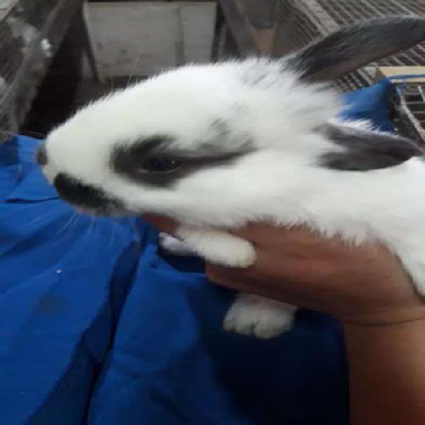 Conejos de 40 dias