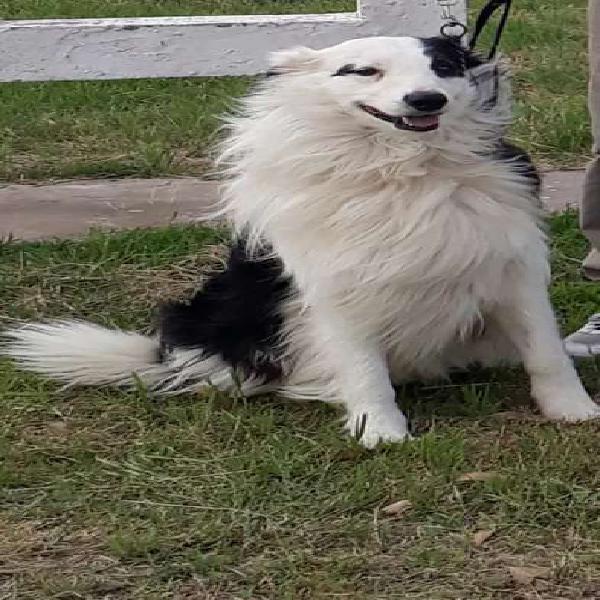 Vendo cachorros border collie