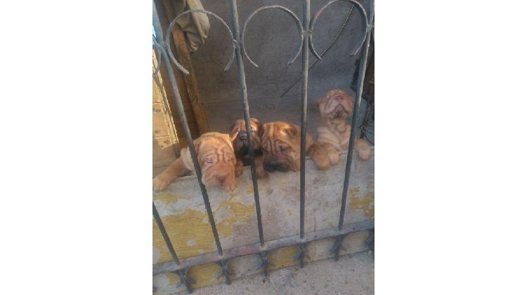 Hermosos cachorras sharpei