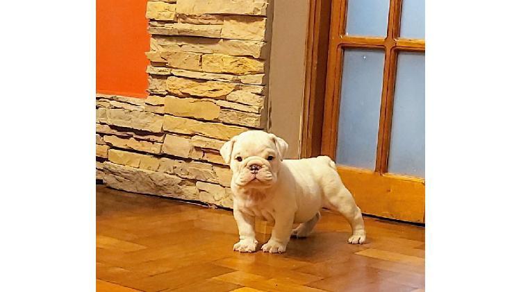 Cachorro machito bulldog ingles nacido 01/12/2020