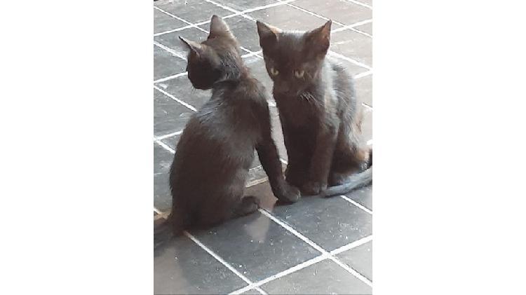Entrego en adopcion dos gatitos machos negros desparasitados