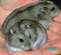 Vendo hamsters rusos por mayor y menor