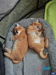 Disponibles gatitos savannah y serval caracal y ocelot