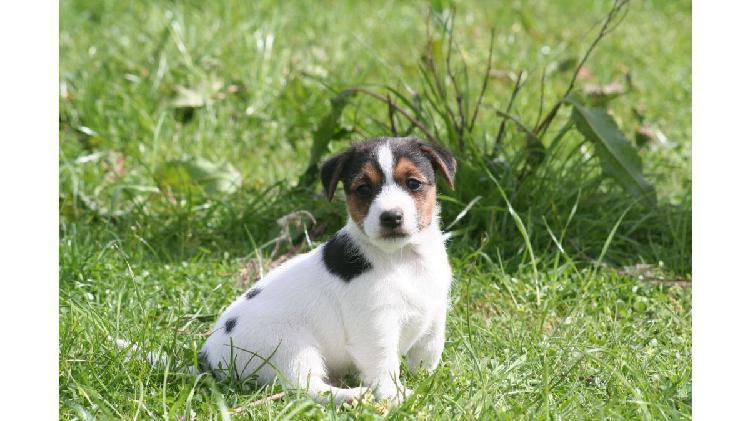 Cachorros jack russell terrier de calidad