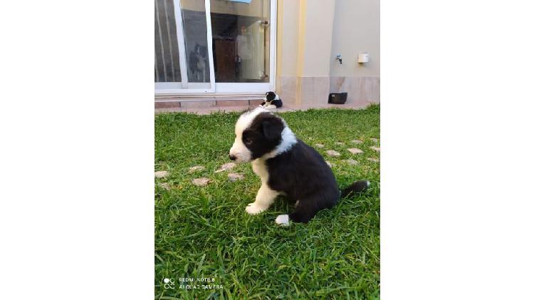 Border collie, último cachorrito!!!