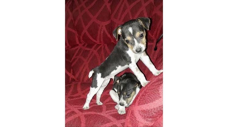 Cachorros Toy Fox Terrier Americano en venta