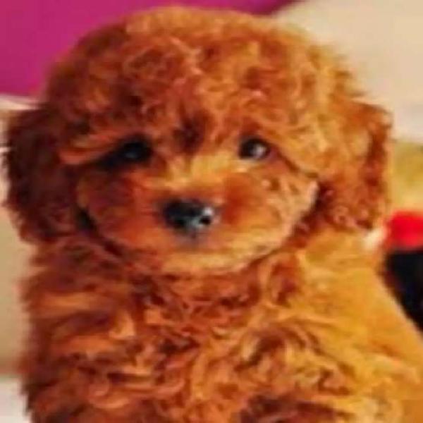 Bellos cachorritos caniches toy de 45 dias padres a la vista