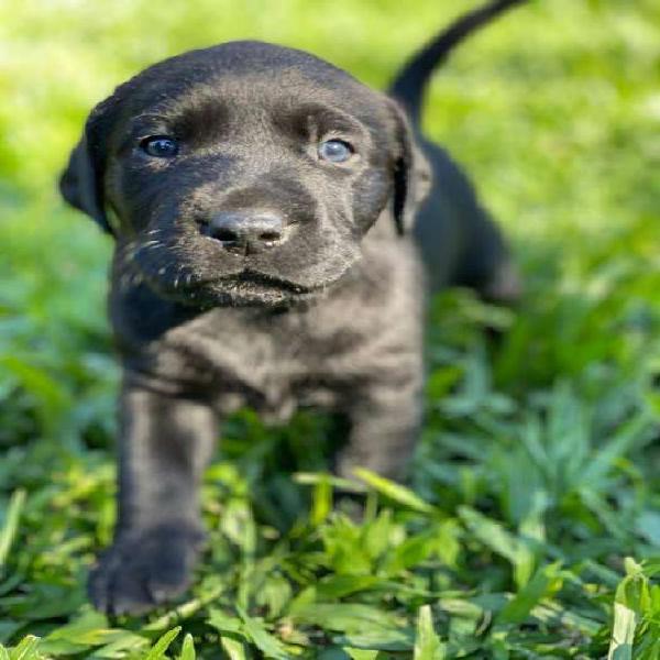 Perro Labrador hembra 30 dias de vida se entrega a partir de