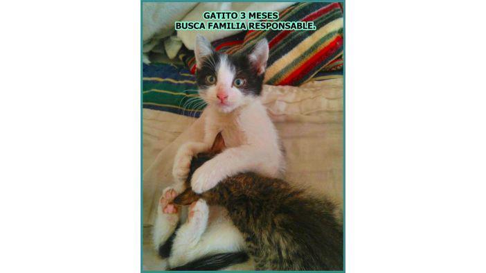 Gatito de 3 meses busca familia responsable que lo adopte.