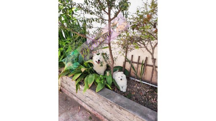 Samoyedos con pedigree