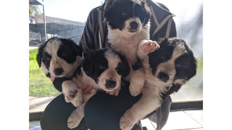 Vendo cachorros border collie con pedigree