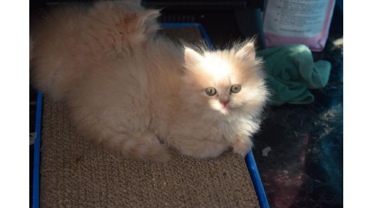 Lindos gatitos persas gratis