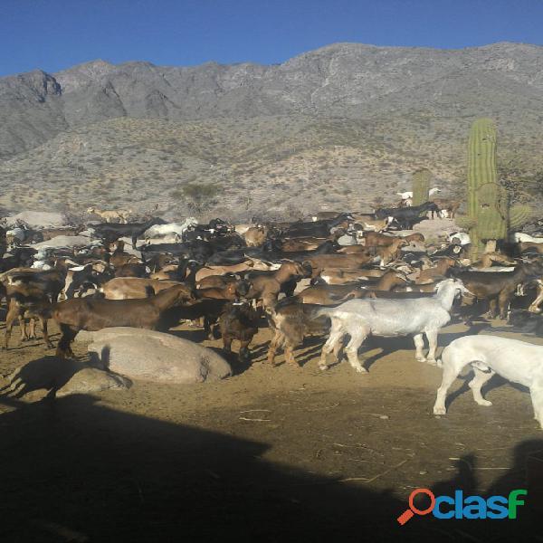 Vendo majada de 140 cabras