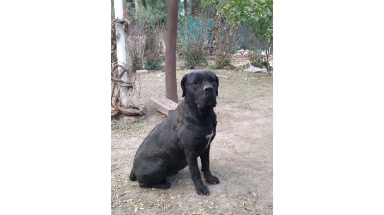 Vendo cachorritos de Cane Corso (mastín italiano)