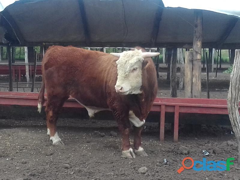Vendo o permuto toro de 580 kilos