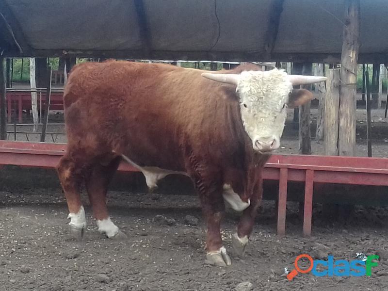 Vendo o permuto toro de 580 kilos 1