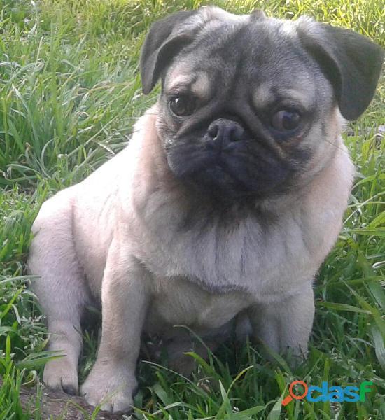Cachorro pug con pedigree