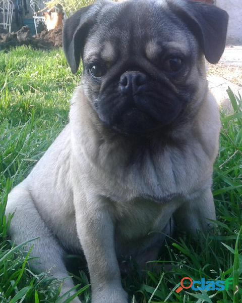Cachorro pug con pedigree 2