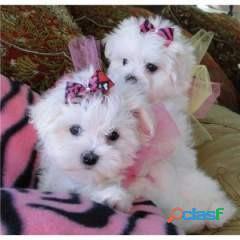Cachorros malteses bien socializados
